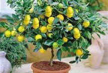 lemon oranj cumcuat