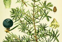 Curpessaceae