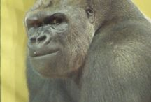 Great Apes - Gorillas / http://babybaboons.webnode.hu/ (Western Lowland- and Mountain Gorillas... with more own photo and video about Gorillas of Budapest Zoo)