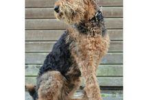 Simba & other Airedales... / Airedales are the best!