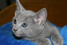 Russian Blue Cats / Russian blue kitties -