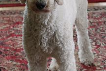 Ollie the Poodle