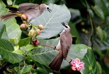 Birds / Birds that are found in Singapore