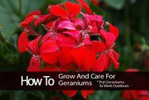 Geraniums Care / GERANIUM CARE TIPS -   geranium care yellow leaves, geranium flower care, potted geranium care, ivy geranium caregeranium plant care, geranium care in pots, lemon scented geranium, ivy geranium care, how to care for geraniums, scented geranium care, care of geraniums, perennial geranium care, wild geranium, caring for geraniums, how to grow gardenias