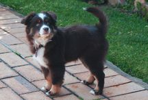 Miniature American (Australian) Shepherd / This board is dedicated to photos, media and information on the Miniature American Shepherd (previously known as the Miniature Australian Shepherd)