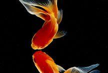 Beautiful goldfish wallpaper for mobile