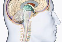 Cérebro/Crânio