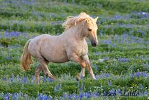 Cloud - the famous Wild Stallion of the Pryor Mountains / Cloud is a pale palomino wild stallion who has lived his entire life wild and free on the Pryor Mountains of Montana.