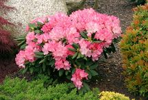 pomysłowa rabata z Rhododendronem