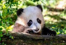 Panda /  Panda (Ailuropoda Melanoleuca), Ayıgiller familyasından, beyaz postu üzerinde bölge bölge siyah büyük benekleri olan, iri, tembel, nesli tehlikede olan bir ayı türü. Küçük panda 'dan ayrıt edebilinmesi için Büyük panda veya da sırf bambu ile beslendiğine dikkati çekmek için Bambu ayısı da denilir. Ama genelde sırf Panda denildiğinde bu tür kast edilir ve akla gelir. Çin'in dev pandaları dünyada en çok soyu tükenme tehlikesiyle karşı karşıya olan hayvan türlerinden birisidir.