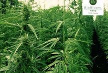 Cannabidiol Öl / Informationen rund um Cannabis und das legal CBD Öl