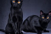 Bombay cats / I'm going to have one of these one day