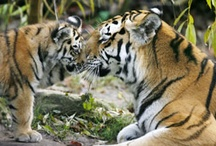 Big Cats   חתולים גדולים / by George Milano