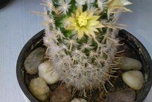 Kaktuszaim...