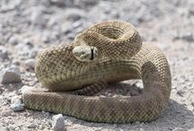 Rattlesnake, Ratelslang / Ratelslang in New Mexico