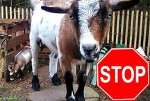 Goats / Stuff about Goats