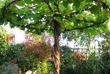 trädgård klätterväxter spaljeer