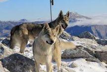 PASTORES-Perro lobo checoslovaco / El perro lobo checoslovaco o pastor checoslovaco es una raza de perro relativamente nueva cuyo linaje original se remonta a un experimento llevado a cabo en 1955 en Checoslovaquia. Después de comenzar la gestación del linaje de los 48 ejemplares de pastor alemán con cuatro lobos europeos, se elaboró un plan para crear un híbrido que tiene el temperamento, la mentalidad y la capacidad de entrenamiento del pastor alemán, y la fuerza, la constitución física y la resistencia de los lobos europeos.