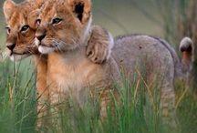 Lion cubs