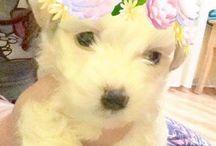 Maltesse puppy