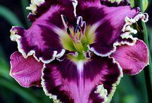 Lilies dream garden