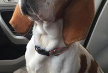 Bassets in need of homes / by Beatrice