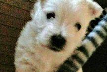 Westie Puppies 2