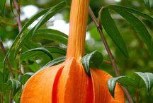 Golgotavirág - Passiflora