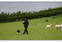 Sheepdog Training