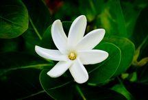 Tiare Flower