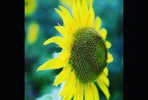 本当の花はこっちです。満開です。 a sunflower #sunflower #flowers #ひまわり #向日葵 #夏の風景 #座間ひまわりまつり写真