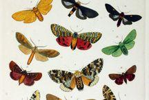 MOTHMEN Moth