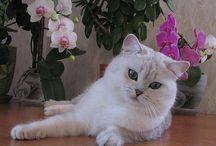 Cats: British Short/Long Hair / Для заводчиков: для продаж и раскрутки своих сайтов создаем банк наших сайтов на этом ресурсе. В настройках доски активна возможность открывать доступ к публикации своим друзьям. Пользуйтесь :) Всего у меня около 1200 подписчиков.  Добавляйте хештеги: #kitten for sale, #british shorthair, #felinology  Пинаем картинки ОБЯЗАТЕЛЬНО со своего сайта, СО ССЫЛКОЙ (хотя бы добавьте свой адрес из ФБ)! В сопроводительном тексте - данные из родухи.