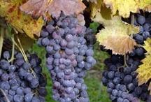 Enchanting vineyards of Tuscany.
