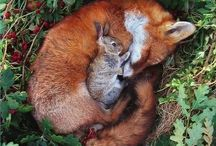 Fox LOVE / Foxes