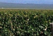 Ruta del Vino, Mendoza