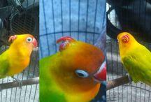 Lovebird Bertanduk dari Solo