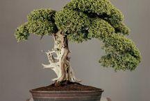 Old Bonsai