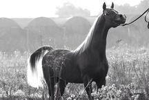 Arabians ( c h e s t n u t s )