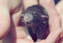 Rats / szczurki