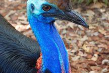 ΚΑΣΣΟΒΑΡΙ (CASSOWARY) /  Το πιο επικίνδυνο πτηνό στον κόσμο είναι το πανέμορφο και εντυπωσιακό Κασοβάρι... Το πτηνό έχει πολλές ομοιότητες με τη στρουθοκάμηλο στο σωματότυπο, αλλά είναι ιδιαίτερα δυνατό και πολύ επιθετικό. Το Κασοβάρι (Cassowary) έχει πολύ δυνατά πόδια και ράμφος καθώς και αιχμηρά νύχια ενω είναι ιδιαίτερα επιθετικό με τους ανθρώπους.