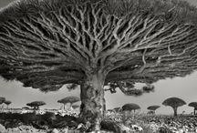 La Natura è uno spettacolo / Gli alberi più antichi al mondo - foto di Beth Moon