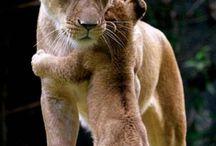 Lions - Lejon