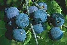 frugt træer - have - gør det selv