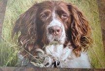 Carhanspringers.com / We have been raising English Springers here on our farm for 31 years. I also like to paint so these beautiful dogs pictures are a muse to me.