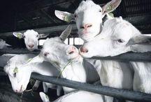witte melkgeit