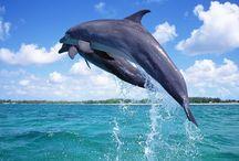 Delfini/Dolphin