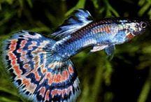 top fish. / Peixes ornamentais.