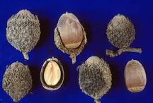 Seeds of the Fagaceae