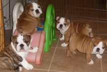 Puppies! / Contact us to see our current puppies that are available!